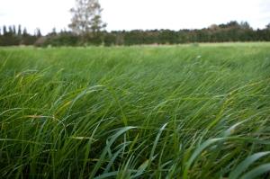 Grüneres Gras graste nie.