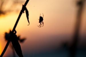 Spinne vor Sonnenuntergang.